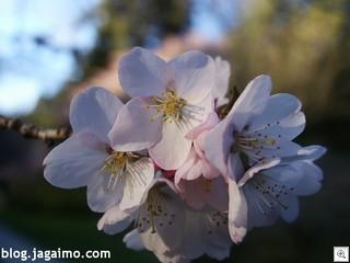 Sakura-branch